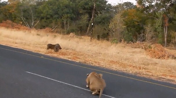 疣猪未警告同伴自己逃走致同伴成狮群口中餐