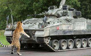 英军装甲车被狮子老虎拦住了