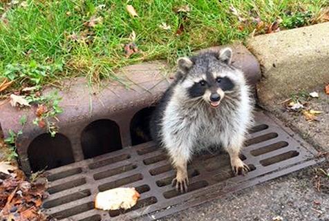 美小浣熊被卡下水道口 警察出动救援