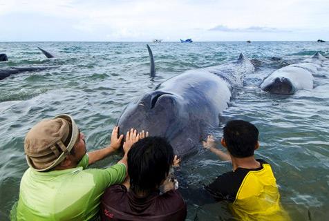 印尼9条鲸鱼搁浅 民众合力送回海中