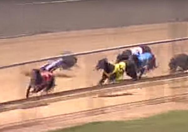 惊魂时刻!澳赛犬高速比赛中被低飞鸭子绊倒