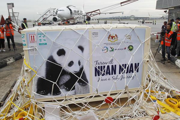 """旅居马来西亚大熊猫暖暖""""起驾""""回国 出生两年首次还乡"""