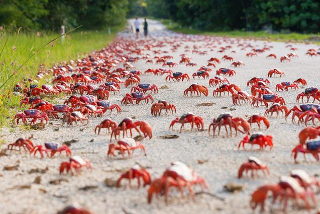 澳圣诞岛螃蟹大迁徙 千万红蟹横行霸道