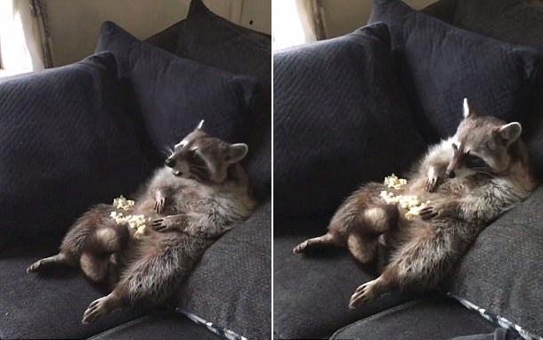 呆萌!实拍小浣熊闲坐沙发惬意吃爆米花