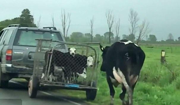 心碎!奶牛母亲奋力追赶带走其幼崽车辆
