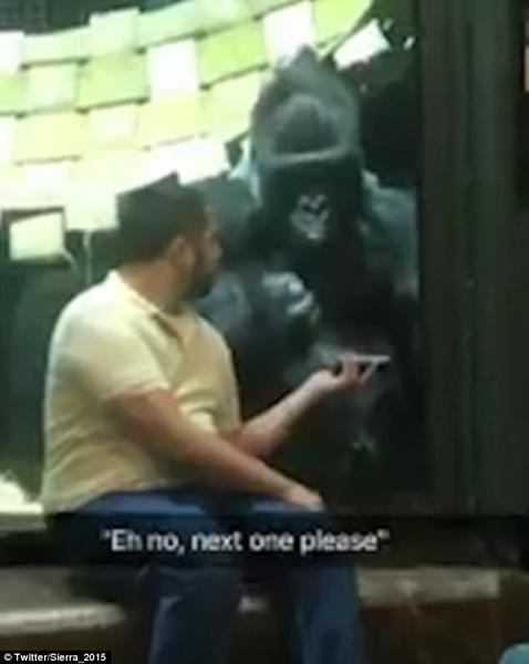 """美国一猩猩挥手示意男子在手机上换""""选美""""照片"""