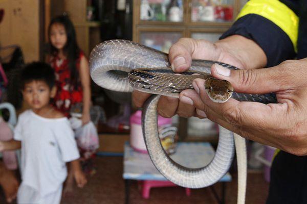 """泰国曼谷""""蛇患""""愈趋严重 消防员频频出动捉蛇"""