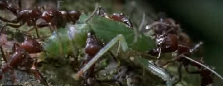 """太吓人!恐怖真菌能使蚂蚁变""""僵尸蚁"""""""