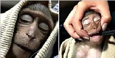 模仿游客?猴子喝过量咖啡中毒致昏迷10小时