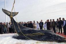 """三度""""迷路""""江苏启东海滩 座头鲸宝宝已确认死亡"""