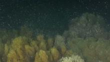澳洲大堡礁珊瑚产卵,海中如同飘雪