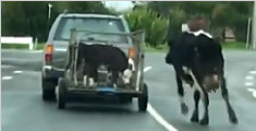母牛蹒跚追被运走三小牛