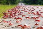 澳千万红蟹横行霸道迁徙