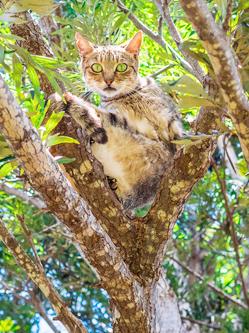 夏威夷建猫收容所 500喵星人当主子