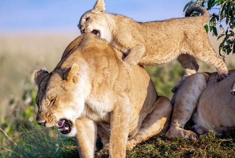 肯尼亚狮宝宝早起闹人 啃咬母狮后背