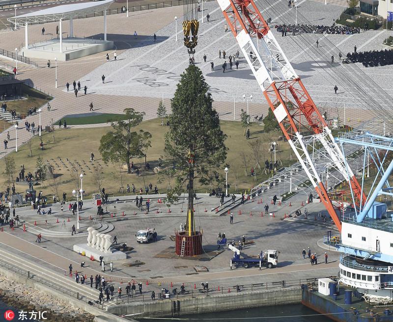 世界最大圣诞树现身日本 150岁罗汉柏高达30米