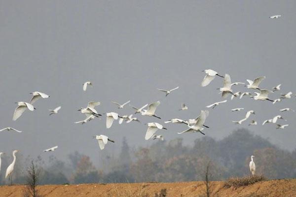 首批东方白鹳抵达巢湖 全球总数不足3000只