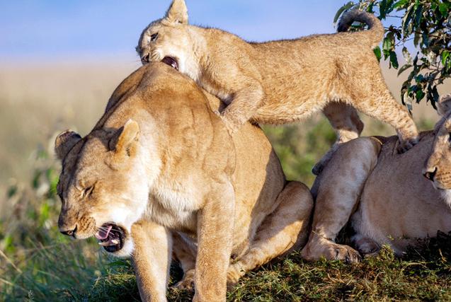环球图片一周精选 狮宝宝狠咬母狮痛到龇牙