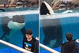 美动物园虎鲸模仿男孩转圈