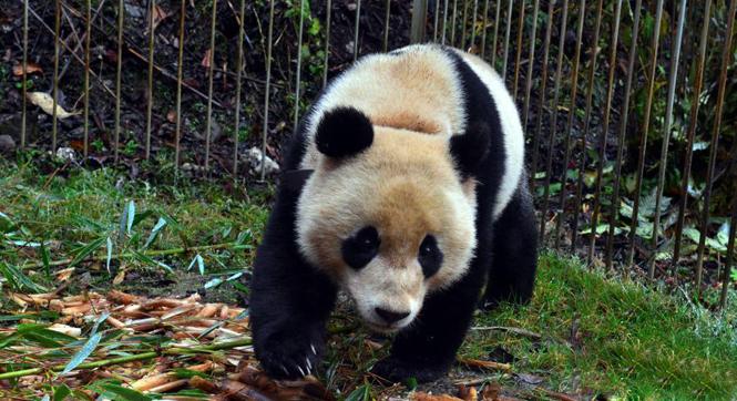 野化大熊猫回捕成功 即将放归大自然