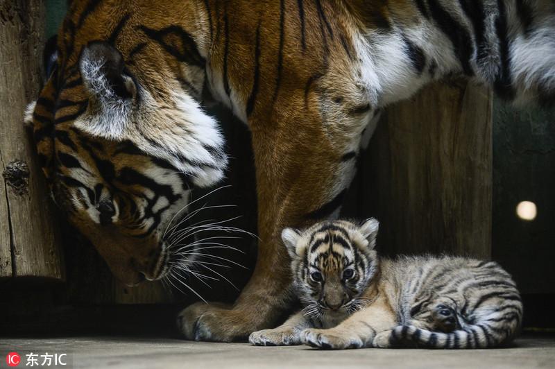 当地时间2017年11月21日,捷克布拉格,当地动物园两只新生马来亚虎虎崽