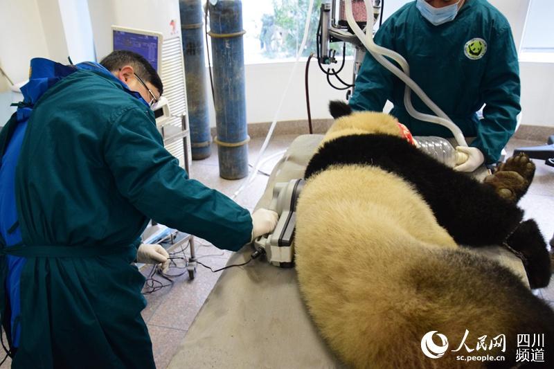 """野化大熊猫""""八喜""""""""映雪""""放归前的最后一次体检"""