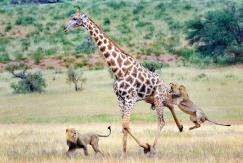非洲长颈鹿苦战狮子 寡不敌众难逃追杀