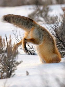 """小狐狸搞笑捕鼠 """"倒栽葱""""扎进雪地"""
