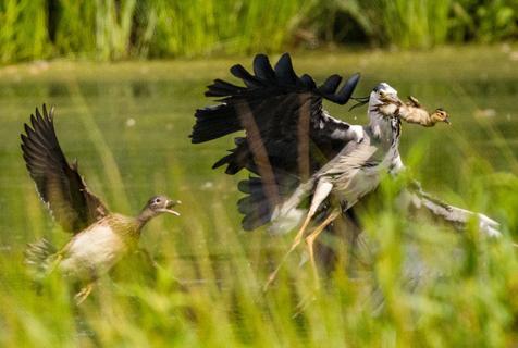 秃鹫抓走小鸭当午餐 鸭妈妈心碎哀鸣