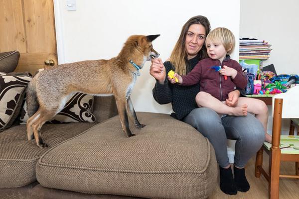 英国妈妈养野生狐狸当爱宠 人狐温馨一家亲