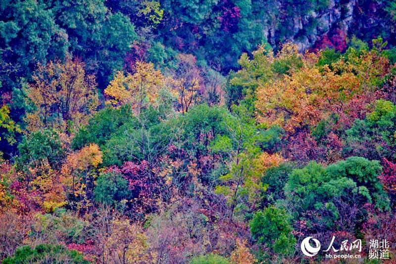 湖北宜昌:珍珠寨彩叶画廊 如油画悬在江边山坡