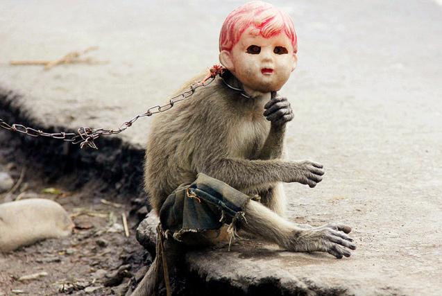 印尼长尾猴街头卖艺 拴铁链戴面具