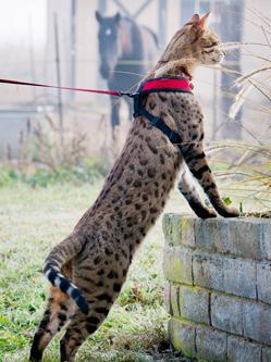 喵届大长腿!世界最高猫咪身高48公分