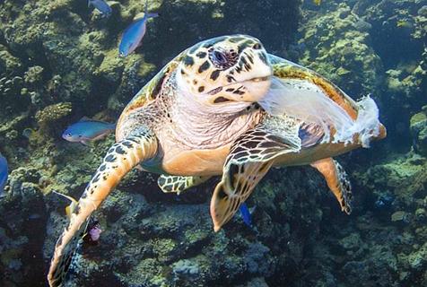 英教师潜水遇海龟喉咙卡塑料 出手相救