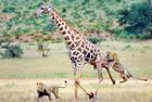 长颈鹿苦战狮子难逃追杀