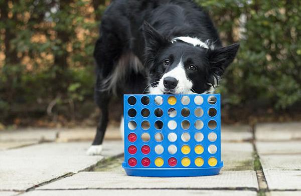 英国一聪明牧羊犬玩四子棋打败主人