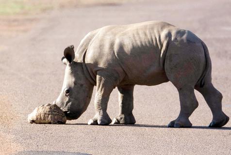 有爱!南非犀牛宝宝帮助小乌龟过马路