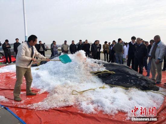 鲸鱼搁浅再度引发热议 磁场异常使其犯方向性错误?
