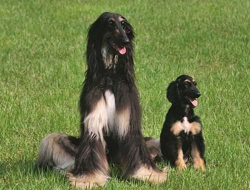"""研究披露:全球首只克隆犬被再克隆 有三只""""后代"""""""