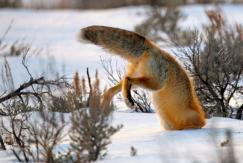 图片一周精选 狐狸捕鼠倒栽扎进雪地