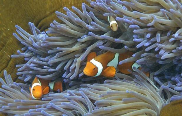 挽救澳大利亚白化大堡礁:珊瑚移植点燃希望