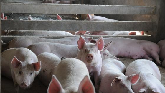 英媒:大粮仓变生猪站 中国养猪业涌进东北