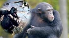 黑猩猩打落飞机上演猩球崛起