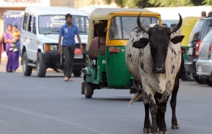 疯狂的司机流浪者和牛 印度自动驾驶路在何方?