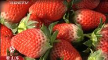 草莓今年行情好