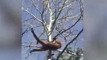 狮子爬上树难逃打猎者致命一箭
