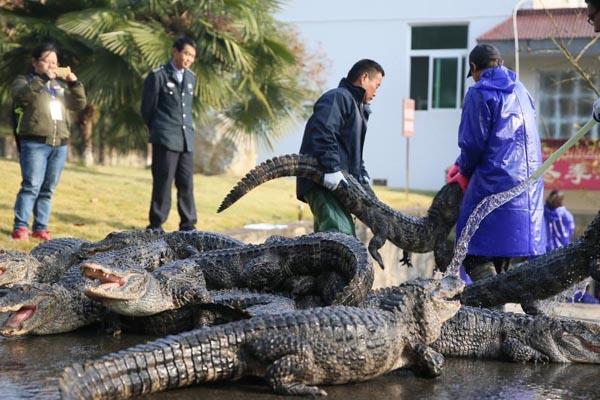 扬子鳄越冬转场 工作人员徒手抓捕上万条
