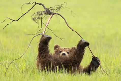 美棕熊宝宝嬉戏玩耍 四脚朝天展萌样