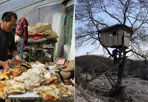 男子捡140斤太岁一夜暴富 3年后住树屋