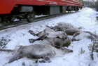 106头驯鹿被火车撞死